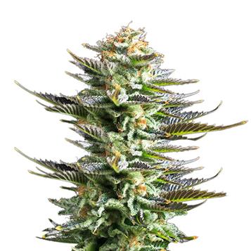 medical-cannabis-cannabidiol-medropharm-1337